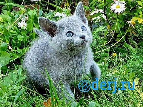 Продаются русские голубые котята, МОСКВА