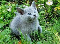 Продаются русские голубые котята
